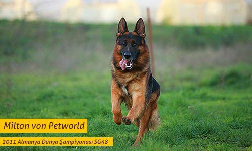 Alman Kurdu - Alman Çoban Köpeği - German Shepherd http://www.almankurdu.com/