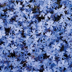 Blue Creeping Phlox http://www.michiganbulb.com/product/Blue_Creeping_Phlox/Ground-Covers