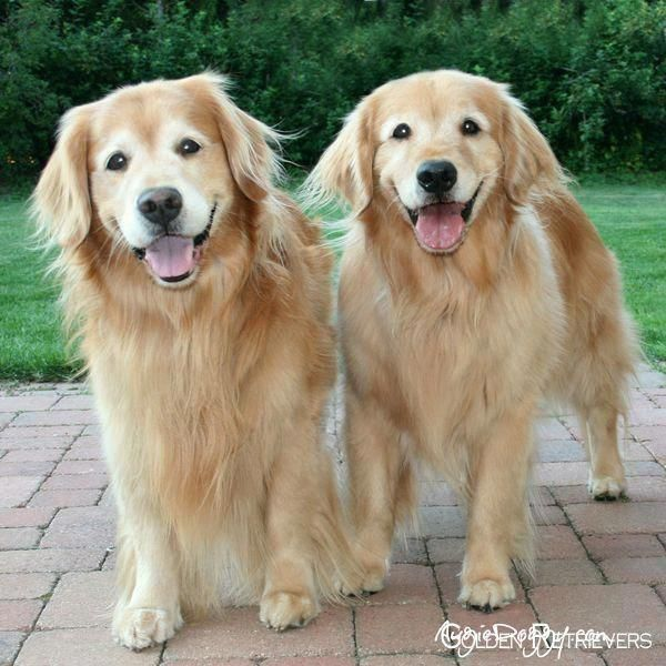 Everything About The Golden Retriever Dog Size