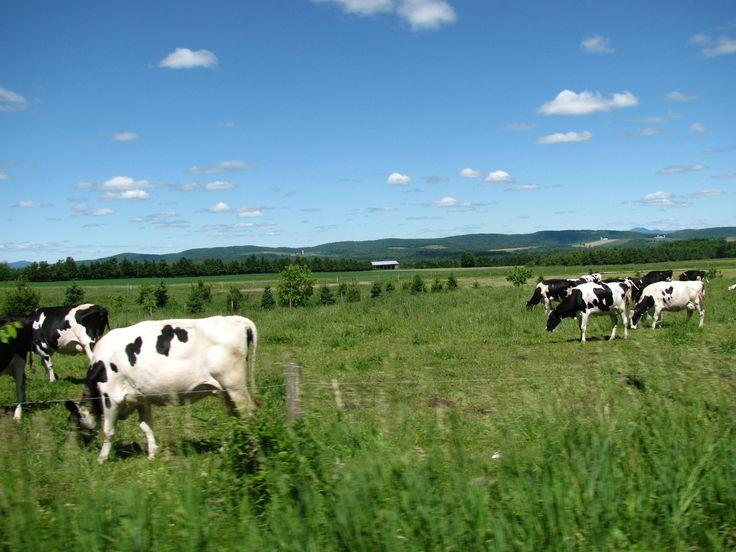 Des vaches à Compton, Cantons-de-l'Est