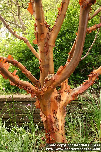 Paper Bark Maple, Acer griseum This tree is slow growing and will reach a height of 30 feet tall with an equally wide canopy. The old bark peels off in strips, revealing cinnamon brown color underneath. Hardy in zones 4 - 8. Plant in full sun and fertile, moist but well-drained soil.
