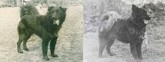 karafuto-ken (樺太犬) – a breed that is now effectively extinct. I wish I could have one!