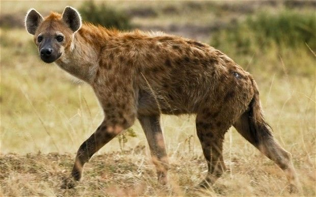 A Cackle of hyenas.