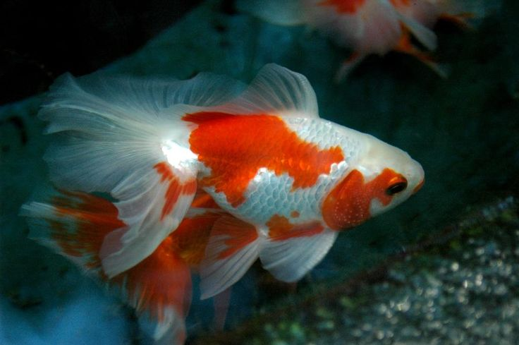Goldfish - Red and white Fantail | Aquariums | Pinterest
