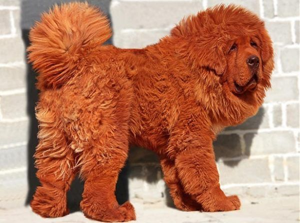 Big Splash, 11 month old Red Tibetan Mastiff, stands nearly 3 feet tall at shoulder weighing over 180lbs.