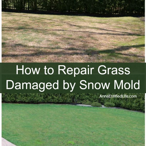 How To Repair Snow Mold On Your Grass Diy Winter Lawn Grass Lawn