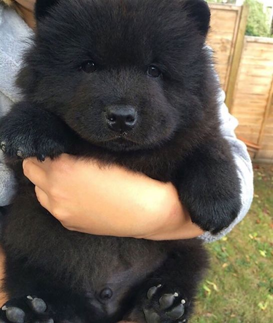 I want to eat him up! 10 Puppies That Look Just Like Teddy Bears