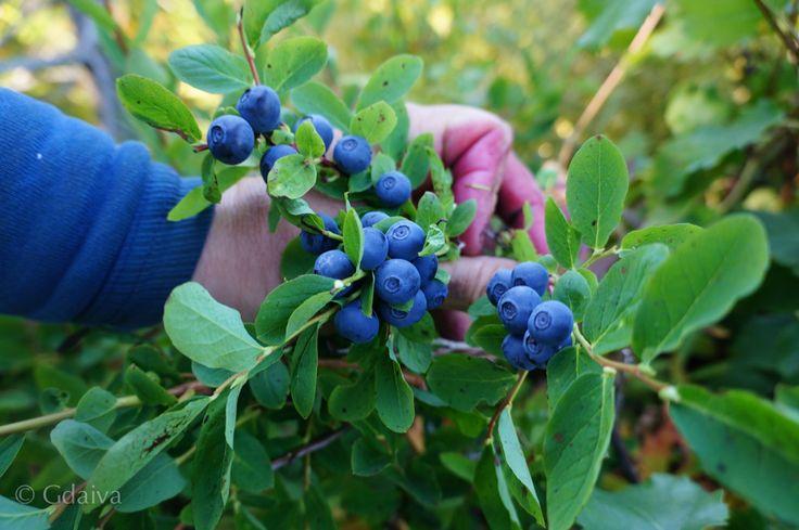 Wild blueberries in Alaska are super delicious