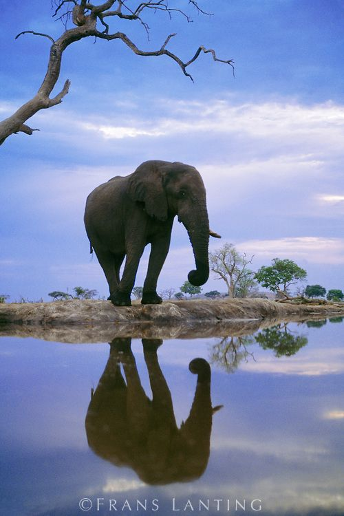 African elephant reflection at the waterhole | Chobe National Park, Botswana by Frans Lanting