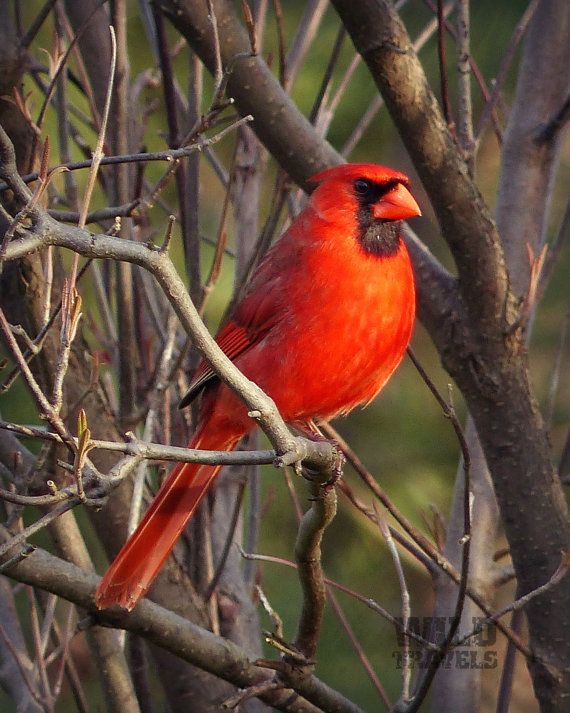 Red Cardinal Wildlife Art Print Woodland Decor by WildTravels