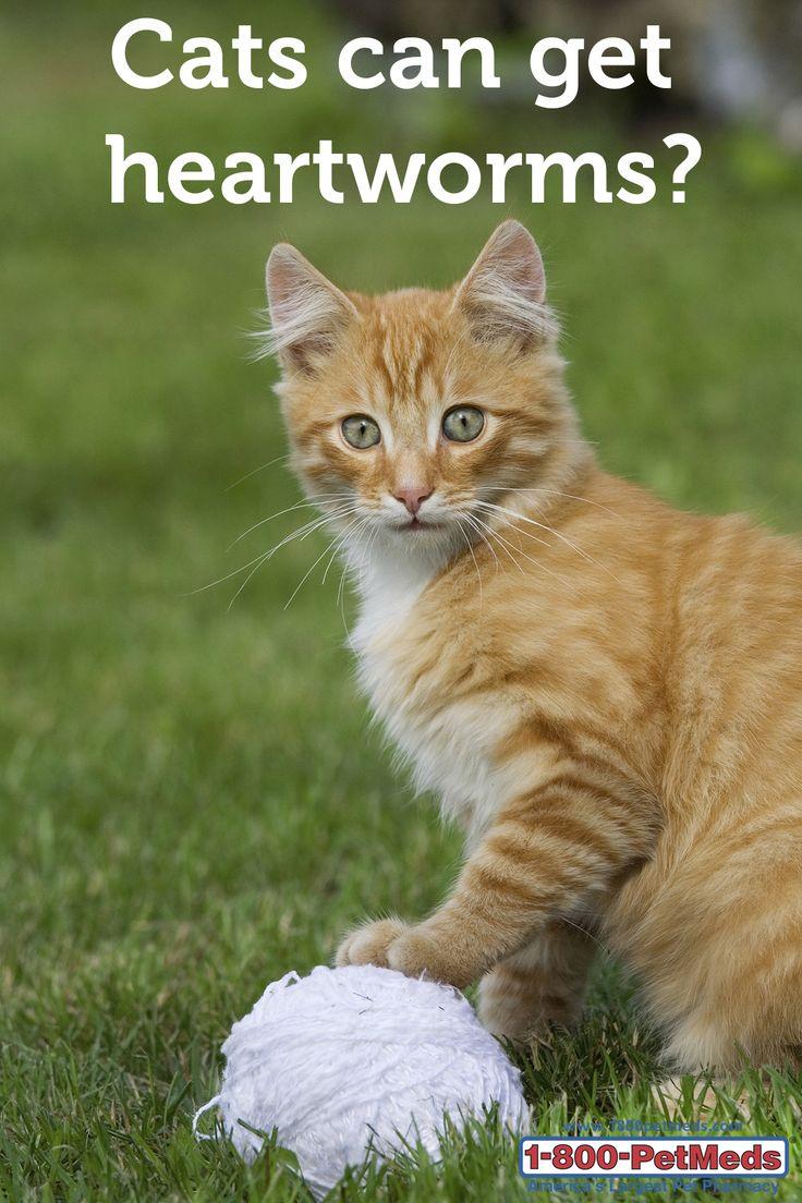 siberian kittens for free