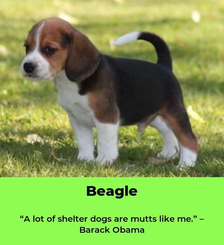Beagle Friendly And Curious Beagle Puppy Dogs