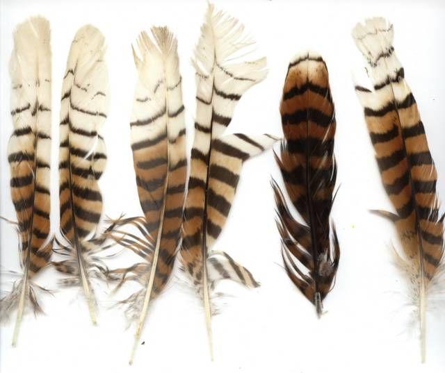 Kookaburra Feathers