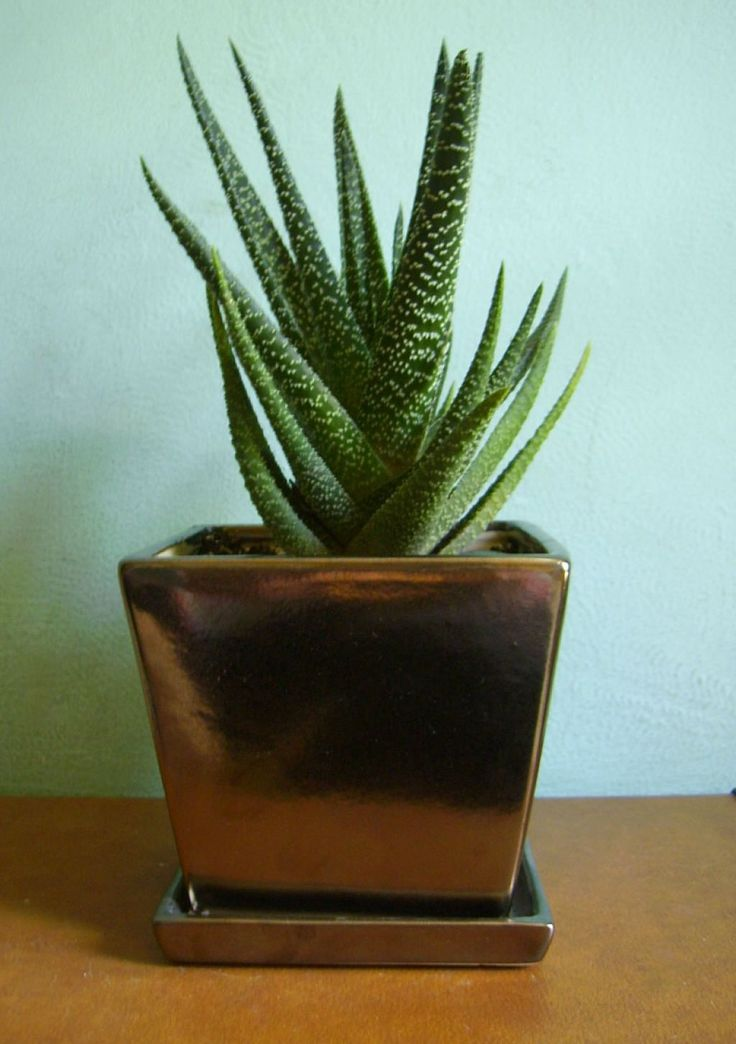 Haworthia Houseplant In Metal Pot Attractive And Delightful Haworthia Houseplants Check more at http://www.wearefound.com/attractive-and-delightful-haworthia-houseplants/