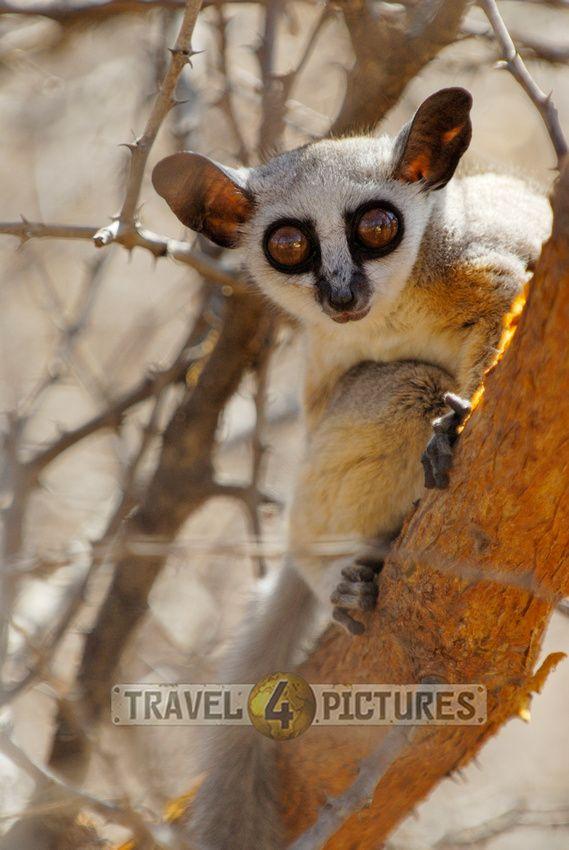 Lesser or Senegal Bushbaby, Galago senegalensis, MERU NATIONAL PARK, KENYA, Africa    / copyright Juergen Ritterbach