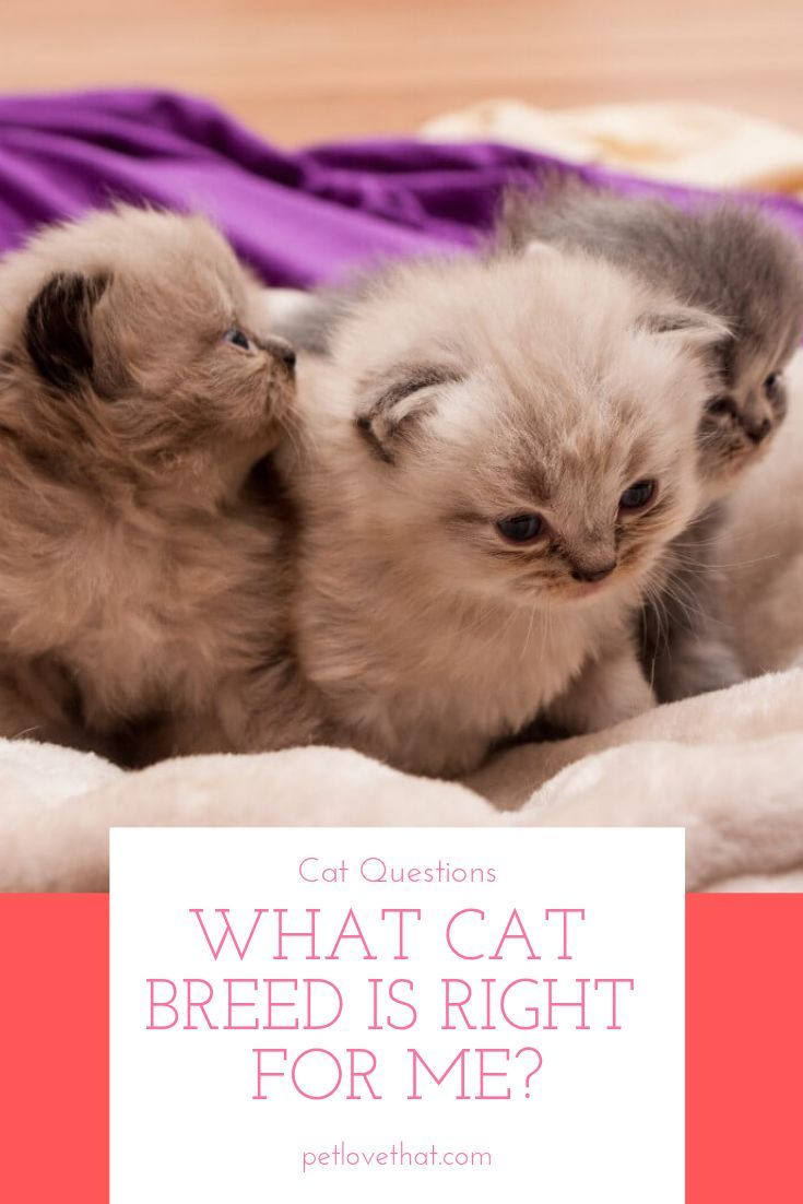 What Cat Breed Is Right For Me Cats What Cat Cat Breeds