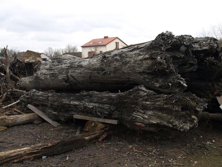 Log Bog Oak 800-6500 years old FOR SALE office@riverwood.eu