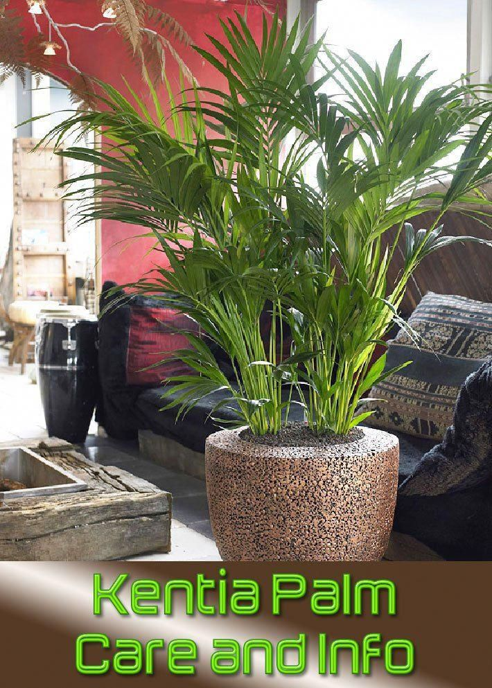 the kentia palm is a fairly easy plant member from the howea genus to take care of indoors that displays wide leaflets the kentia palm is native to lord