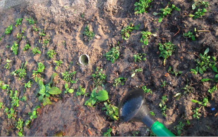 De geplante plantjes water geven met de gieter. Telkens een klein beetje want de grond is erg droog. Anders loopt het water er meteen weer vanaf.