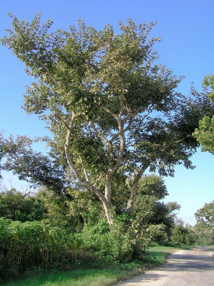A detailed monograph on Jamaican Dogwood from 7Song of the ...