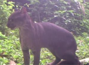 The Wildlife Conservation Society and Panthera released camera trap footage today from Uganda's Kibale National Park showing a rarely seen A...
