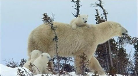 Family of Polar Bears  Oh my gosh, these triplets are so cute!!! <3