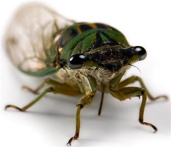 predatory relationship of katydids and mantids The spotted predatory katydid, chlorobalius leucoviridis  is known about the  behavior and phylogenetic relationships of tettigoniid katydids,.