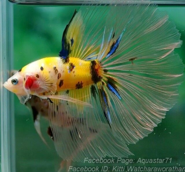 Male halfmoon betta fish pinterest for What kind of fish can live with a betta