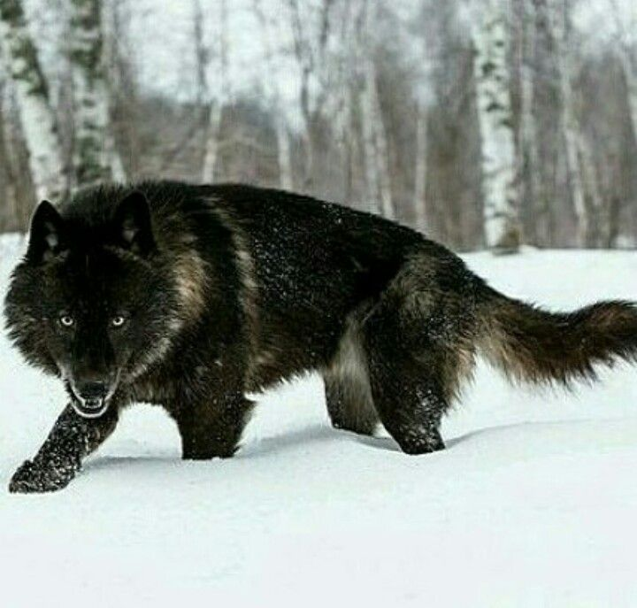 LOVE BLACK WOLVES!! Stunningly handsome!                                                                                                                                                                                 More