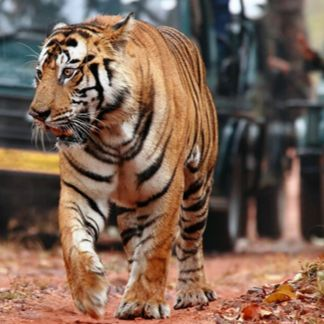 One of the best known wildlife havens in Rajasthan, Ranthambore National Park, is also one the most famous abodes of royal Bengal tigers in all of south Asia.