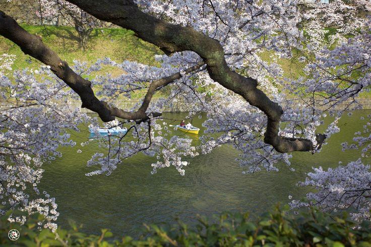 Sakura @ Chiyonofuji