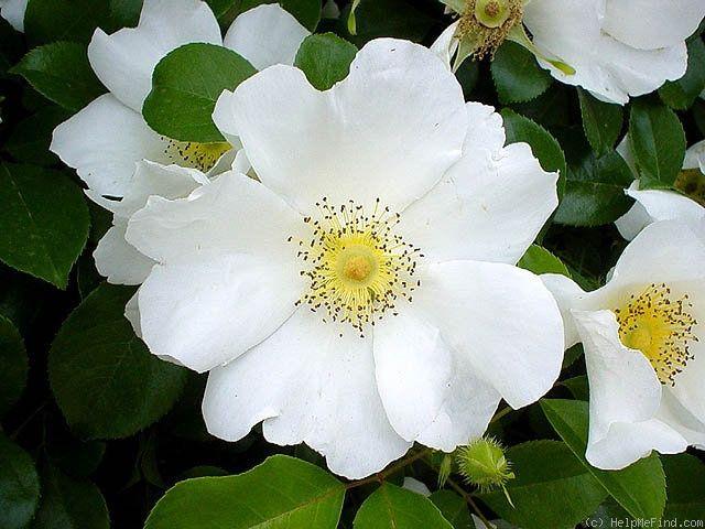 'Cherokee Rose' (Rosa Laevigata) #