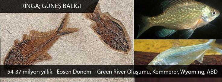 Ringa & Güneş Balığı - Eosen Dönemi - Green River Oluşumu - Kemmerer - Wyoming - ABD