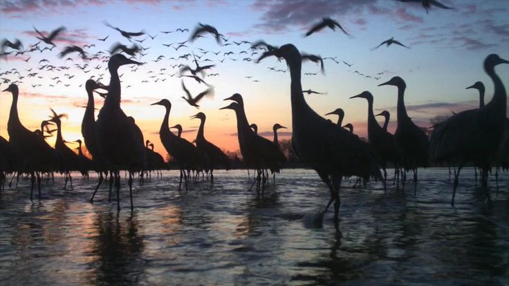 Each spring, more than half a million Sandhill Cranes congregate along Nebraska's Platte River during their annual migration. Photo: Crane Trust