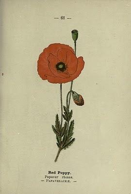 vintage botanical poppy