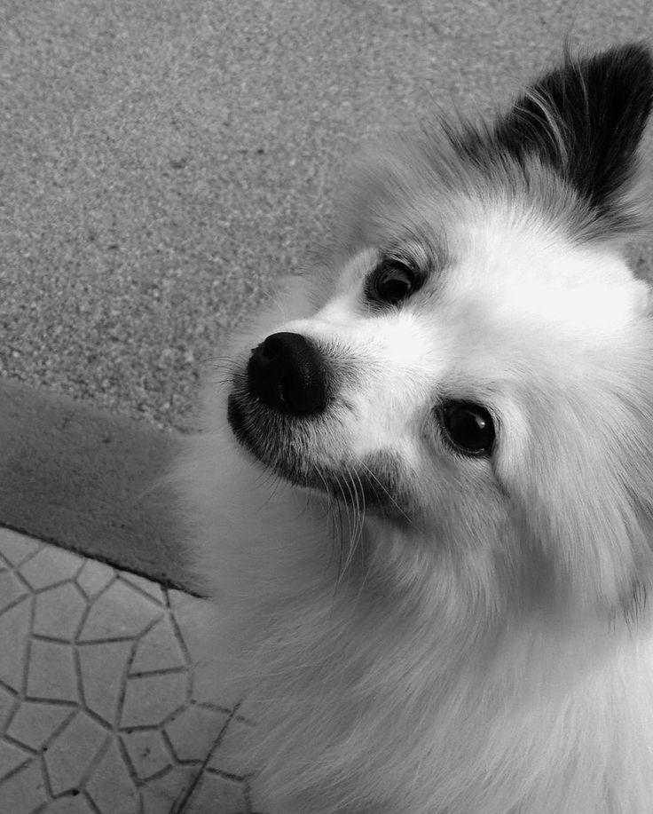 Un cane non se ne fa niente di macchine costose case grandi o vestiti firmati. Un bastone marcio per lui è sufficiente a un cane non importa se sei ricco o povero brillante o imbranato intelligente o stupido se gli dai il tuo cuore lui ti darà il suo. Di quante persone si può dire lo stesso? Quante persone ti fanno sentire unico puro speciale? #Clicquot #myheart #loveyou #dog #ilovemydog #doglovers #animallover #white #blackandwhite #blackeyes #eyes #kiss #sweet #myboy # # #picoftheday…