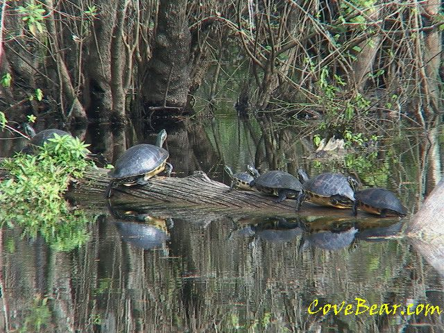 Bayou Queue de Tortue: Billy Bayou, Habitats, Turtles Sun, Bayou Living, Bayou Reference, Rabbit Bayou, Turtles Abound, Covebearturtles Jpg 640 480, Bayou Queue