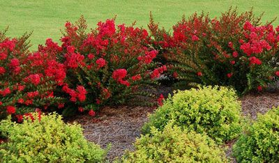 Cherry Dazzle Crape Myrtle; Lagerstroemia 'GAMAD I' PP# 16,917 Only True Red Dwarf Crape Myrtle H: 3-5 ft, W: 3-5 ft, Spacing 3-4 ft Blooms: Summer Full - Partial Sun