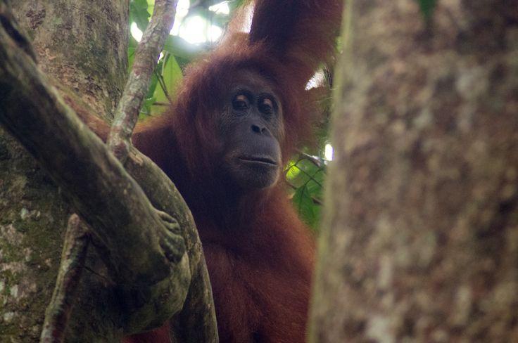 Female orangutan in the wild, Gunung Leuser National Park, Sumatra