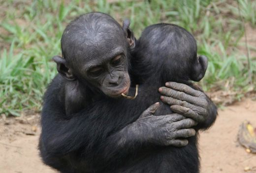Bonobos display consolation behavior, a sign of sensitivity to the emotions of others and the ability to take the perspective of another.