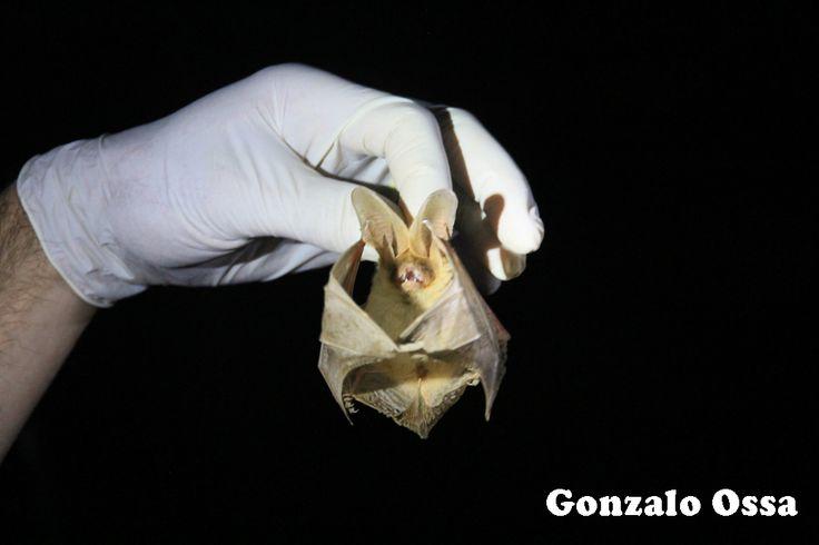 Chile Hace Ciencia: Científicos chilenos descubren nueva especie de murciélago para el país en la Pampa del Tamarugal