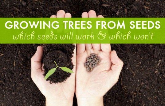 trees, tree seeds, fruit trees, fruit, nut trees, nuts, moringa, moringa tree, sustainable food, food security, gardening, urban farming, lemon, cherry, apple, chestnut, hazelnut, avocado