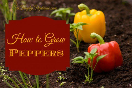 Guide to growing peppers that teaches you how to plant, fertilize and maintain beautiful pepper plants. Learn how to grow the best pepper...
