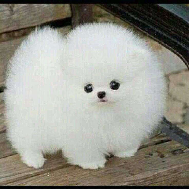 Pomeranian Teacup Dog What Others Really Liked Cute