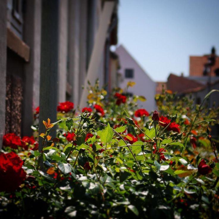 Smukke røde roser i #assens  #visitfyn #fyn #nature #roses #nature_perfection #naturelovers #nofilter #natur #denmark #danmark #dänemark #landscape #assensnatur #mitassens #nofilter #fynerfin #vielskernaturen #visitassens #instapic #picoftheday #summer2016 #sommer