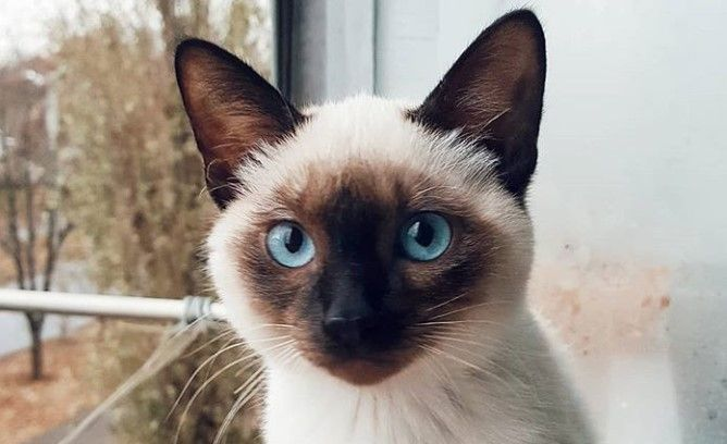 Top 50 Male Siamese Cat Names Siamese Cats Cat Names Siamese Cats Blue Point