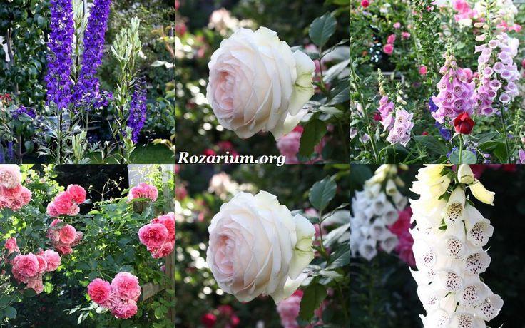 Rozarium :: Róża Eden Rose 85