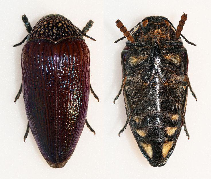 https://flic.kr/p/DAL68U | Sternocera feldspathica | White,1843 Sex: ? Data: 03-2005 - Cassoco - Angola Size: 38mm