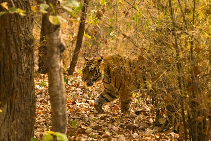 Parque Nacional de Bandhavgarh (India)