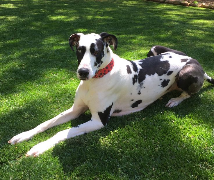Great Dane dog for Adoption in Kennesaw, GA. ADN-507508 on PuppyFinder.com Gender: Female. Age: Young